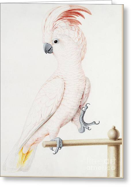 Major Mitchell's Cockatoo Greeting Card by Nicolas Robert
