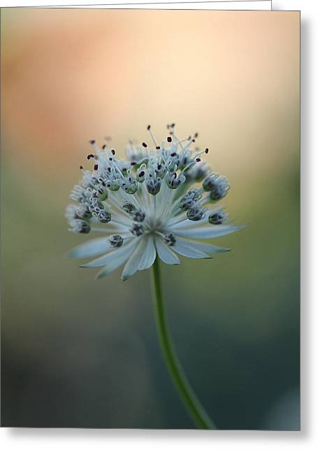 Botanica .. Make A Wish  Greeting Card by Connie Handscomb