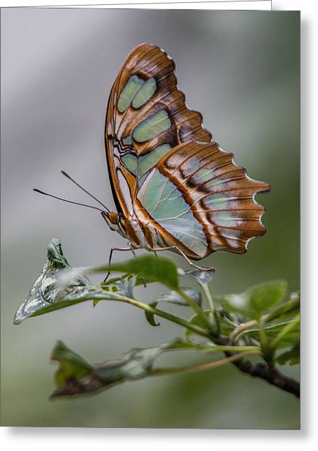 Malachite Butterfly Profile Greeting Card