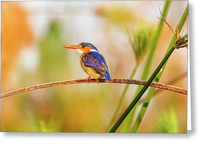Malachite Kingfisher Hunting Greeting Card