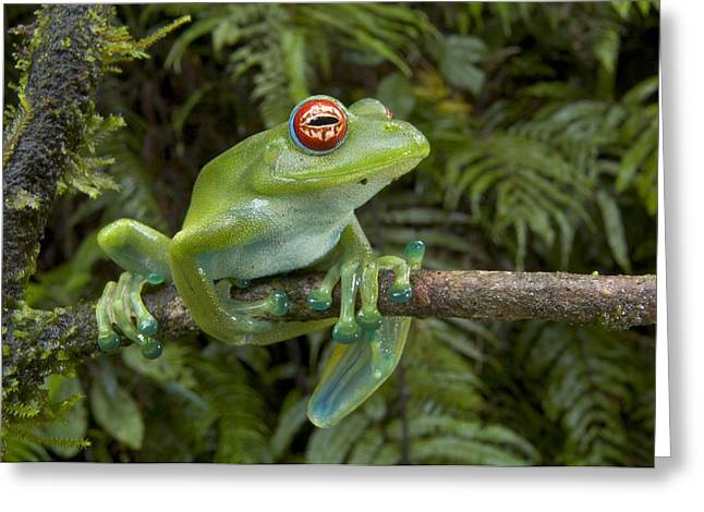 Malagasy Web-footed Frog Boophis Luteus Greeting Card by Piotr Naskrecki