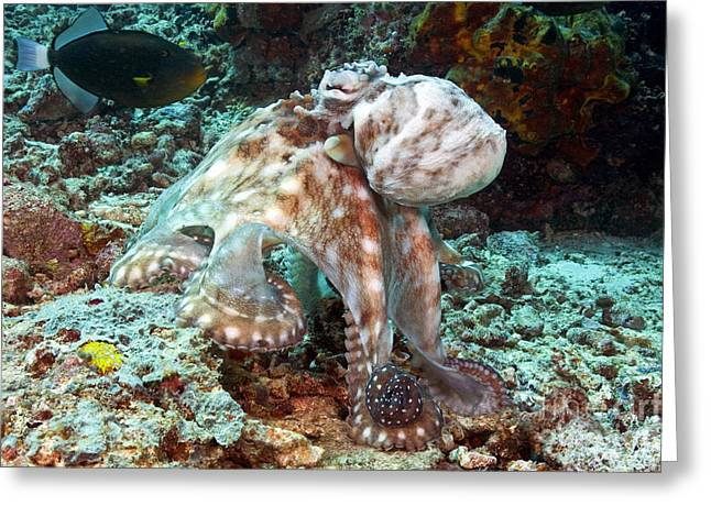 Malaysia, Octopus Greeting Card by Dave Fleetham - Printscapes