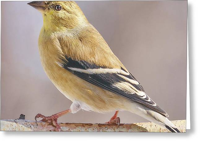 Male American Goldfinch In Winter Greeting Card