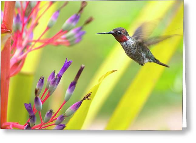 Male Anna's Hummingbird Greeting Card