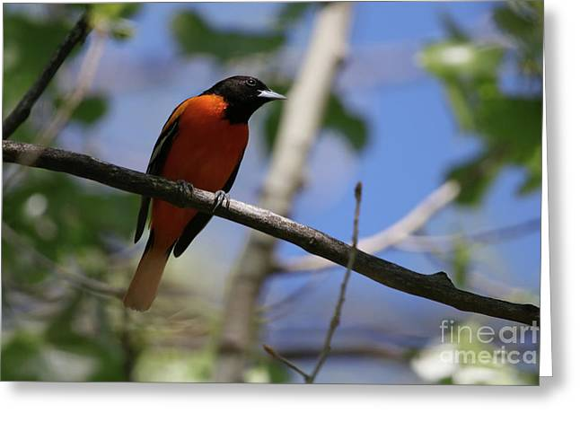 Male Baltimore Oriole Greeting Card