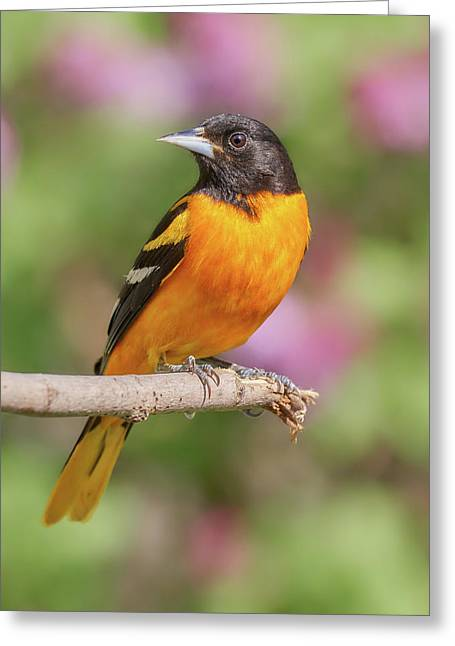 Male Baltimore Oriole Arriving In Minnesota In The Spring Greeting Card