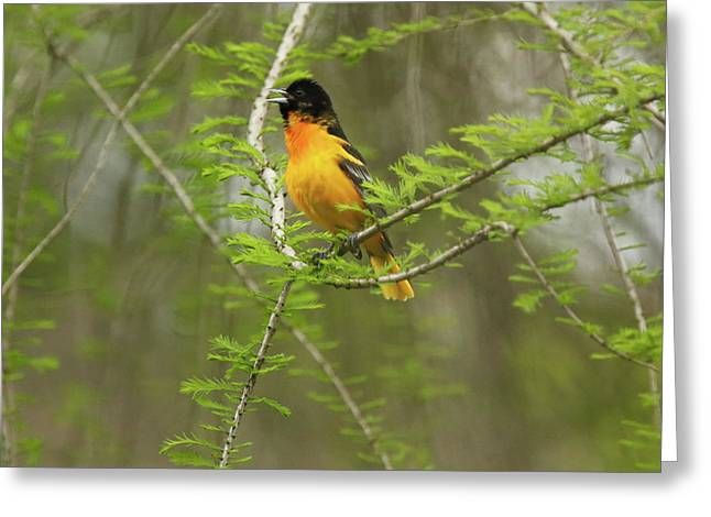 Male Baltimore Oriole Greeting Card by David Yunker