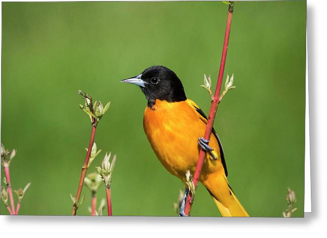 Male Baltimore Oriole Posing Greeting Card
