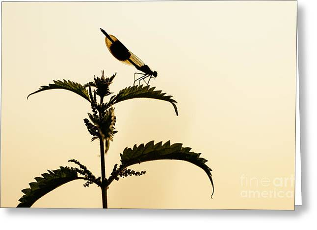 Male Banded Demoiselle At Sunset Greeting Card