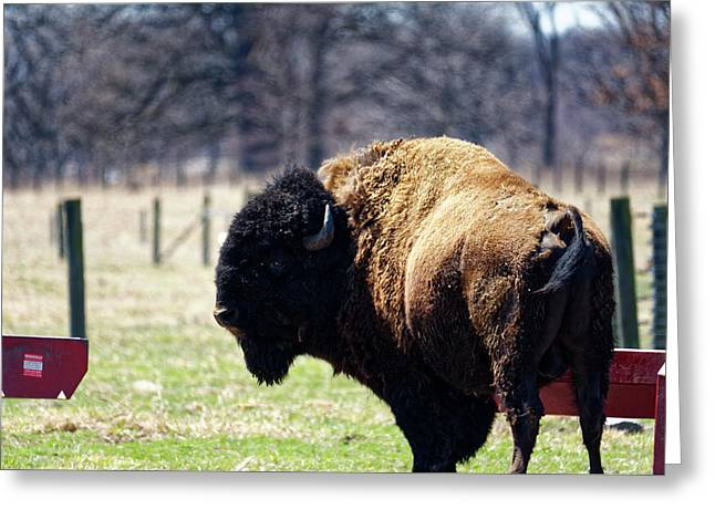 Male Bison Greeting Card