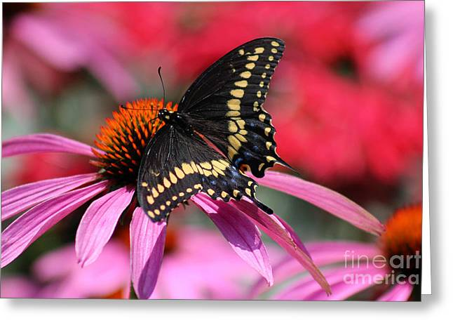 Male Black Swallowtail Butterfly On Echinacea Plant Greeting Card by Karen Adams