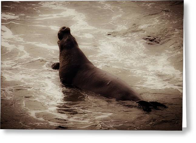 Male Bull Elephant Seal Greeting Card by Garry Gay