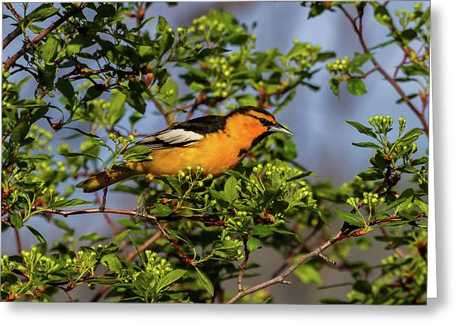 Male Bullock's Oriole Greeting Card by TL Mair