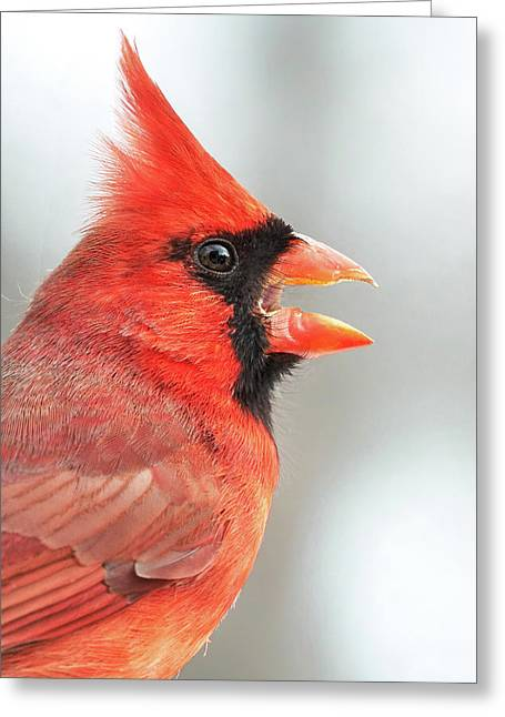 Male Cardinal In Profile Greeting Card