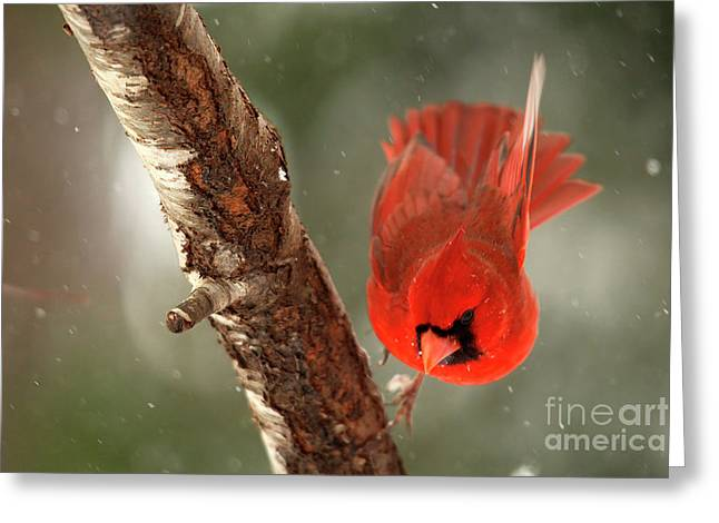 Greeting Card featuring the photograph Male Cardinal Take Off by Darren Fisher
