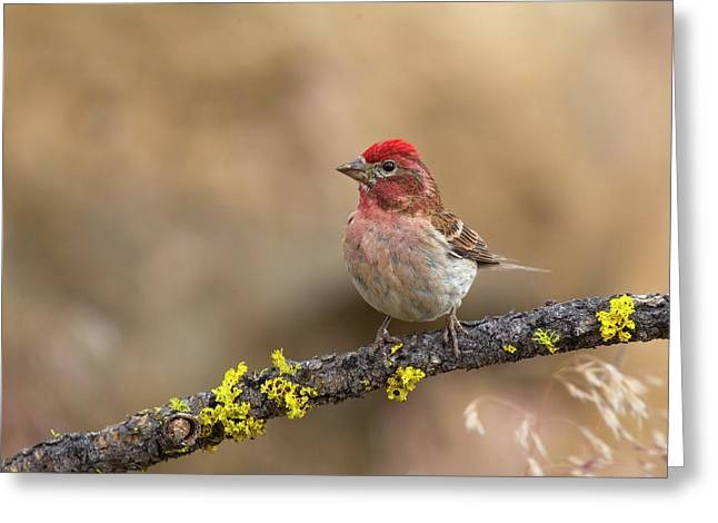 Male Cassins Finch Greeting Card