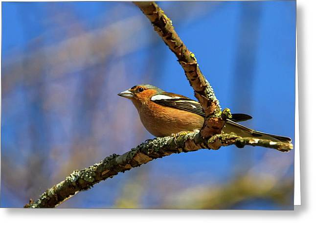 Male Common Chaffinch Bird, Fringilla Coelebs Greeting Card