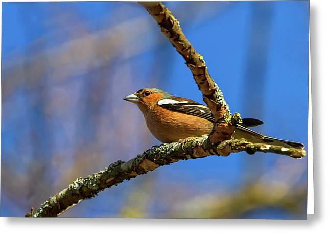 Male Common Chaffinch Bird, Fringilla Coelebs Greeting Card by Elenarts - Elena Duvernay photo