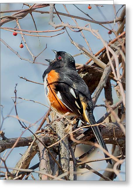 Male Eastern Towhee Greeting Card by Bill Wakeley