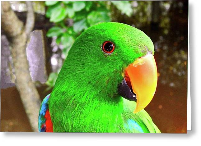 Male Eclectus Parrot II Greeting Card