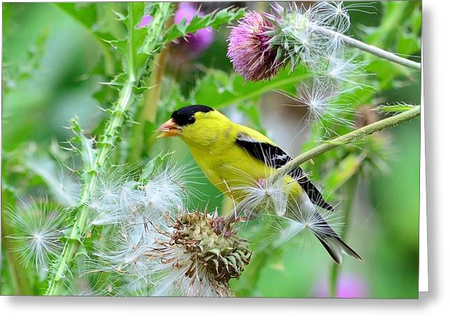 Male Goldfinch Greeting Card by Kathy Eickenberg