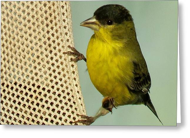 Male Goldfinch On Sock Feeder Greeting Card