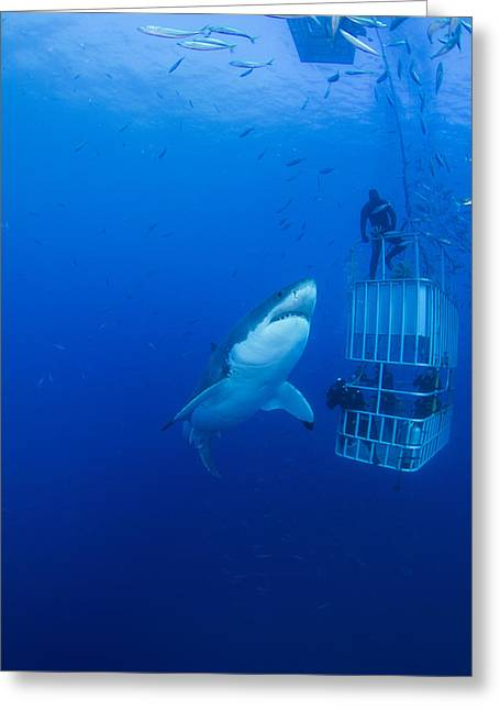 White Shark Photographs Greeting Cards - Male Great White With Cage, Guadalupe Greeting Card by Todd Winner