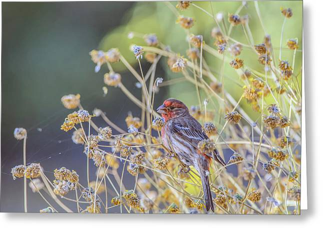 Male House Finch 7335 Greeting Card by Tam Ryan