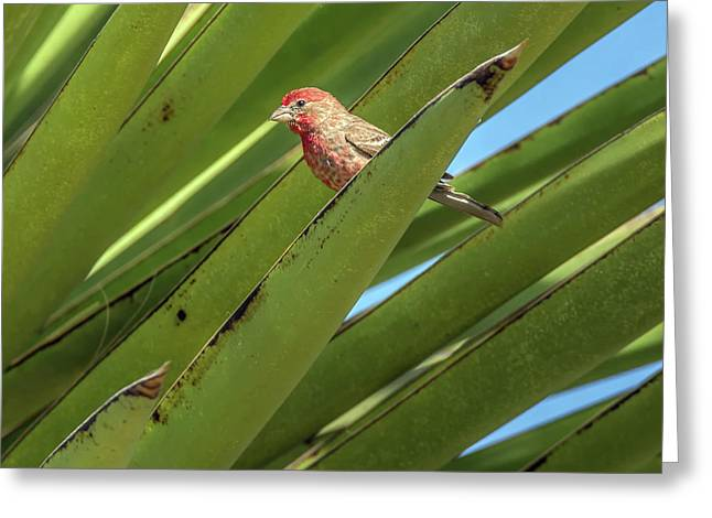 Male House Finch 7498 Greeting Card by Tam Ryan