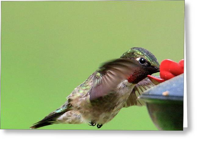 Male Hummer At Feeder Greeting Card