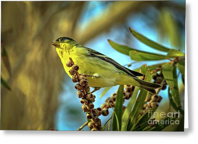Male  Lesser Goldfinch Greeting Card