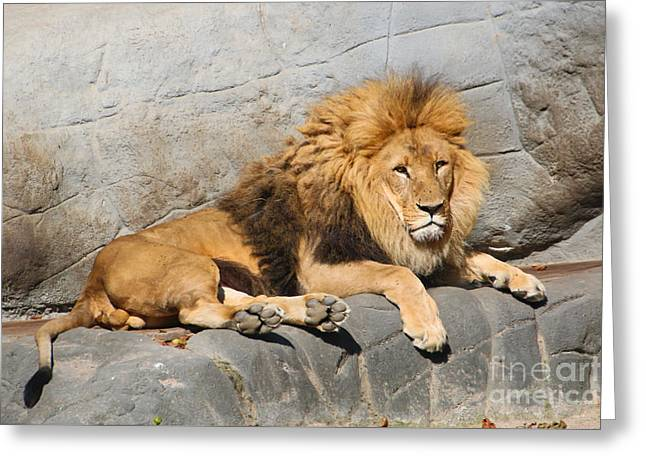 Male Lion Greeting Card by Amanda Mohler