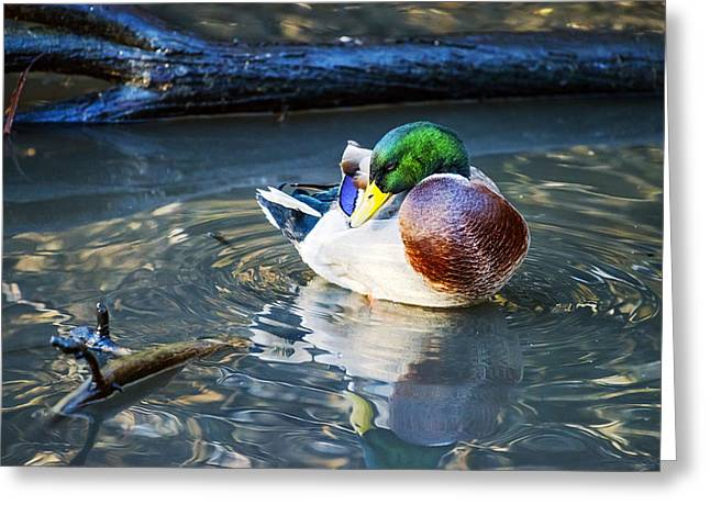 Male Mallard Deck In Nature Greeting Card