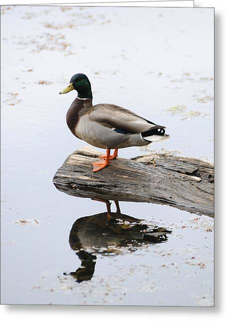 Full-length Portrait Photographs Greeting Cards - Male Mallard Duck With His Reflection Greeting Card by Darlyne A. Murawski