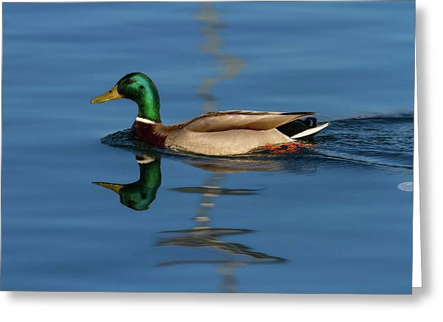 Male Mallard Or Wild Duck, Anas Platyrhynchos, Portrait Greeting Card