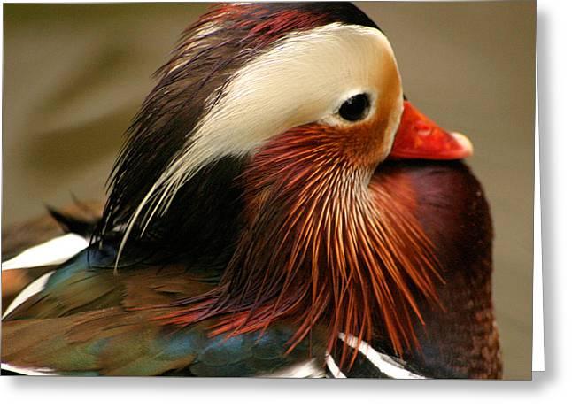 Male Mandarin Duck China Greeting Card by Ralph A  Ledergerber-Photography