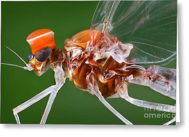 Male Mayfly Greeting Card