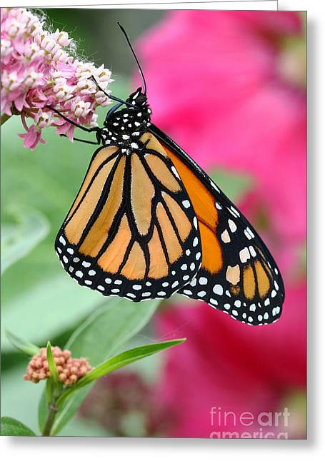 Greeting Card featuring the photograph Male Monarch by Steve Augustin