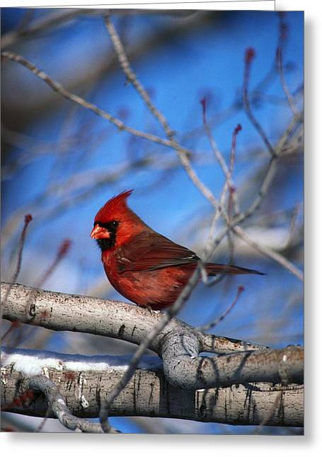 Male Northern Cardinal Bird Greeting Card by Natural Selection David Spier