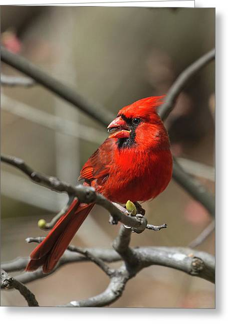 Male Northern Cardinal In Spring Greeting Card