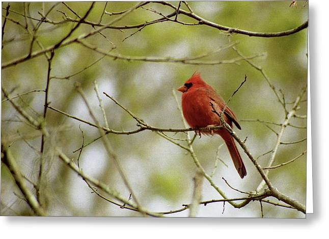 Male Northern Cardinal Greeting Card by Michael Peychich