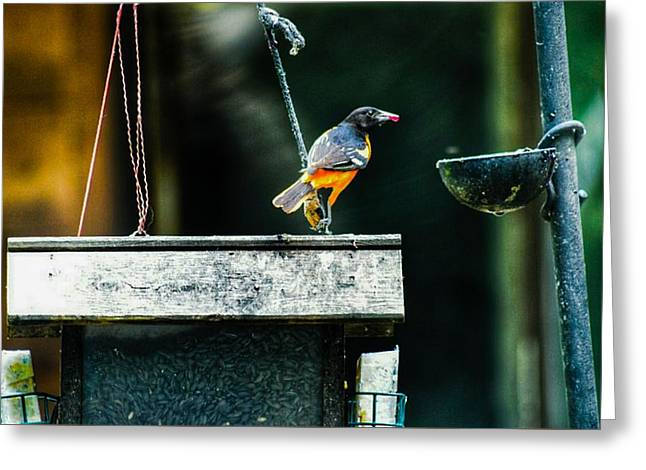 Male Oriole  Greeting Card by Shelley Smith