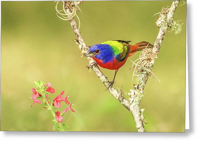Male Painted Bunting #1 Greeting Card