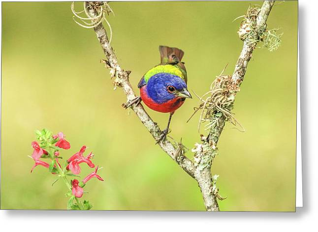 Male Painted Bunting #2 Greeting Card