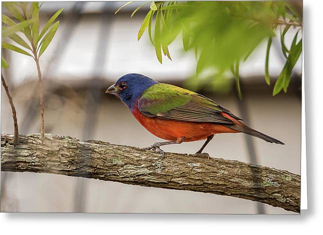Male Painted Bunting Greeting Card