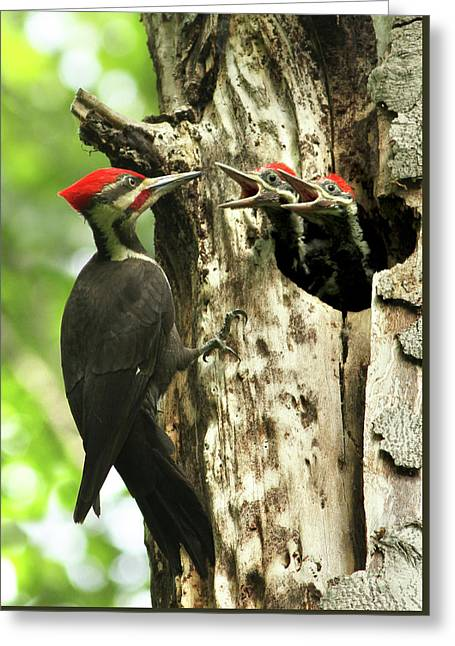 Male Pileated Woodpecker At Nest Greeting Card