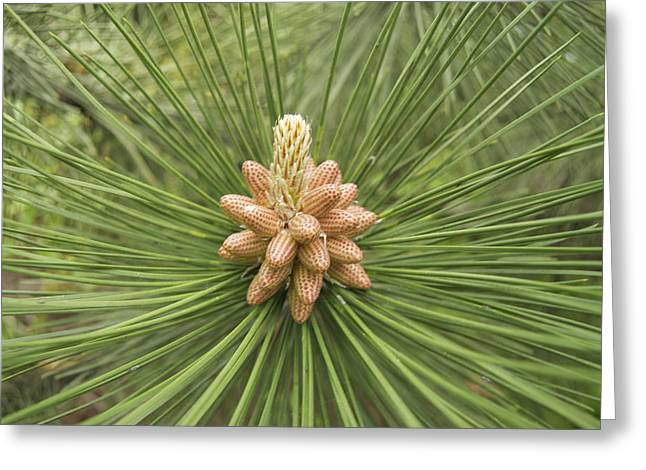 Male Pine Cones  Greeting Card by Michael Peychich