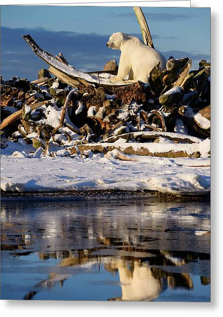 Male Polar Bear With Eyes Closed On The Whale Bone Pile On Barte Greeting Card by Reimar Gaertner