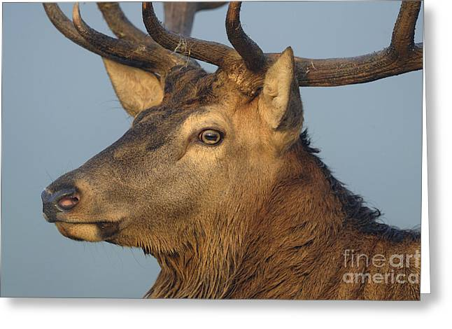 Male Red Deer Greeting Card by David & Micha Sheldon