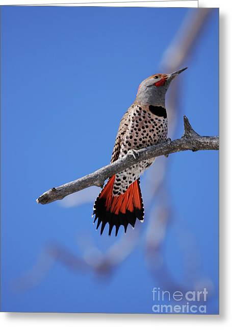 Male Red Shafted Northern Flicker Greeting Card
